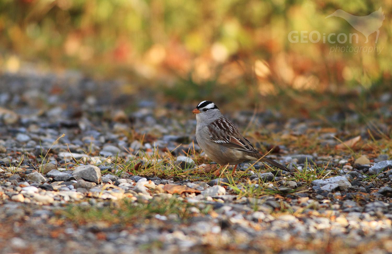 White-crowned sparrow / strnadec bělokorunkatý (Zonotrichia leucophrys)