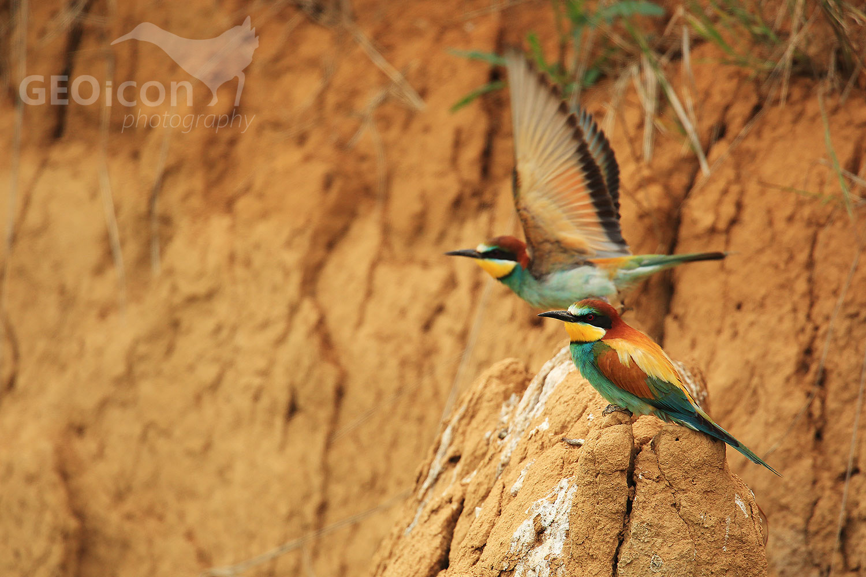 Bee-eater / vlha pestrá (Merops apiaster)