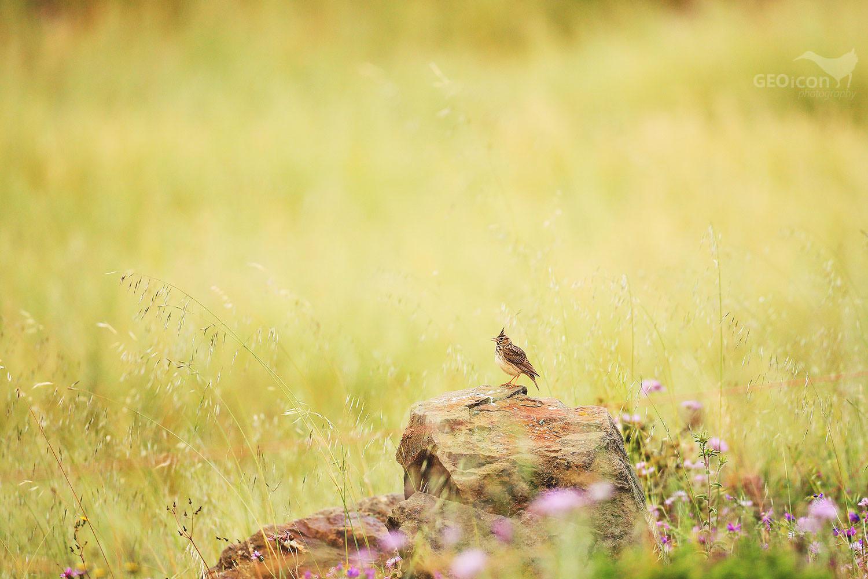 Crested lark / chocholouš obecný (Galerida cristata)