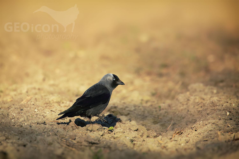 Jackdaw / kavka obecná (Corvus monedula)
