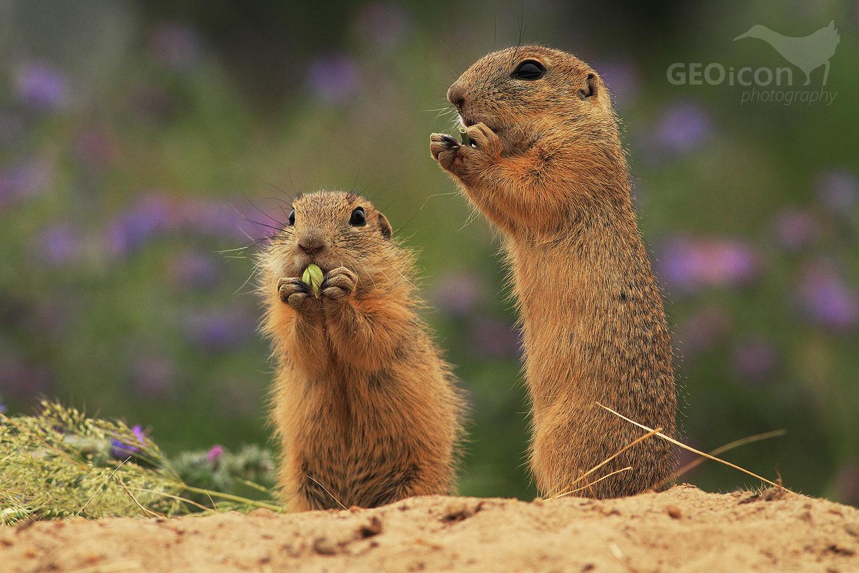 European ground squirrel / sysel obecný (Spermophylus citellus)
