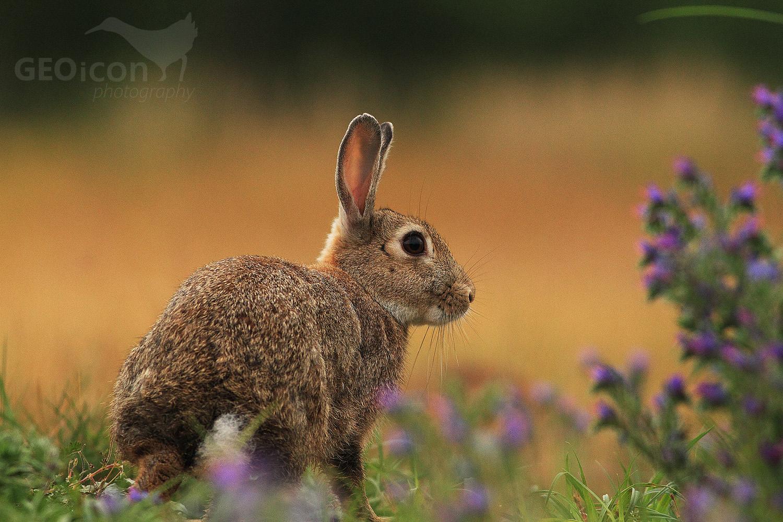 European rabbit / králík divoký (Oryctolagus cuniculus)