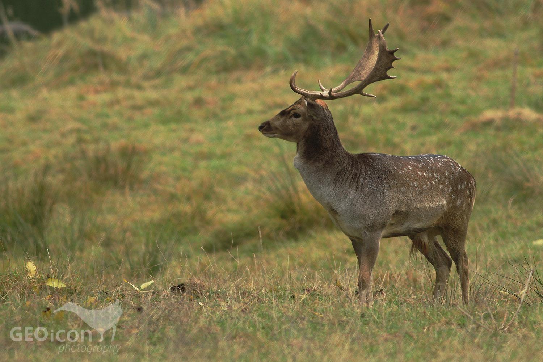 Fallow deer / daněk skvrnitý (Dama dama)