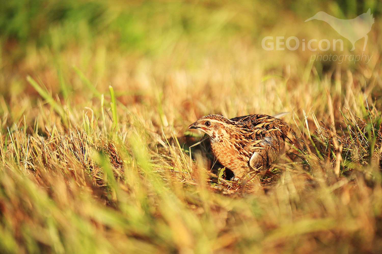 Grey partridge / koroptev polní (Perdix perdix)