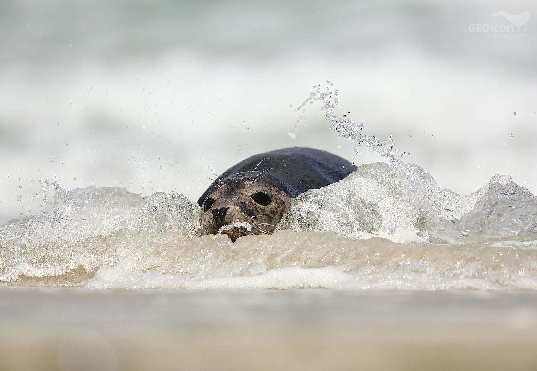 Grey seal / tuleň kuželozubý (Halichoerus grypus)