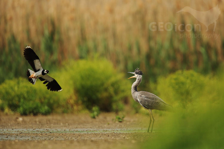 Grey heron / volavka popelavá (Ardea cinerea)