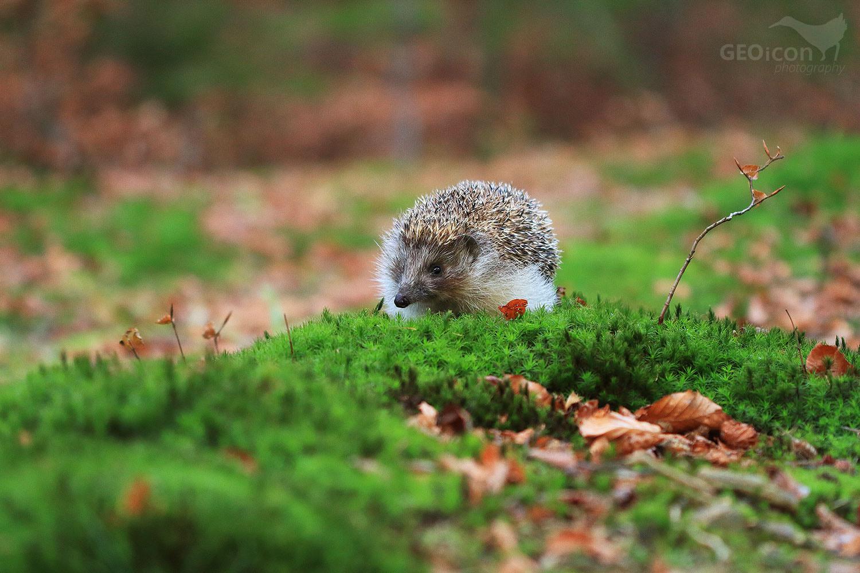 Eastern hedgehog / ježek východní (Erinaceus concolor)