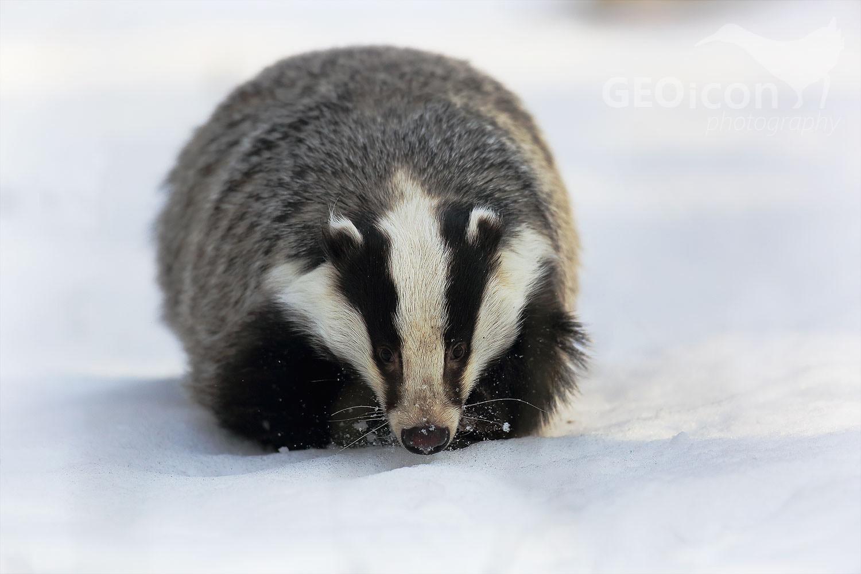 Badger / jezevec lesní (Meles meles)