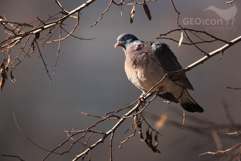 Wood pigeon / holub hřivnáč (Columba palumbus)