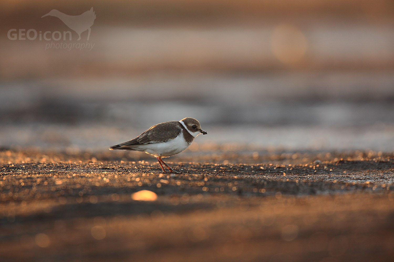 Little ringed plover / kulík říční (Charadrius dubius)
