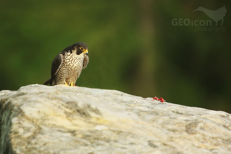 Peregrine falcon / sokol stěhovavý (Falco peregrinus)