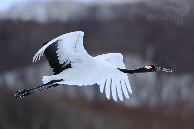Red crowned crane / jeřáb mandžuský (Grus japonensis)