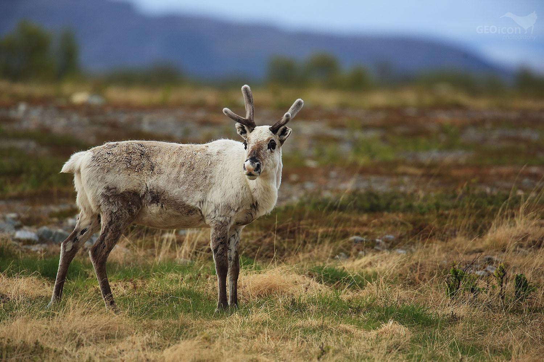 Reindeer / sob polární (Rangifer tarandus)