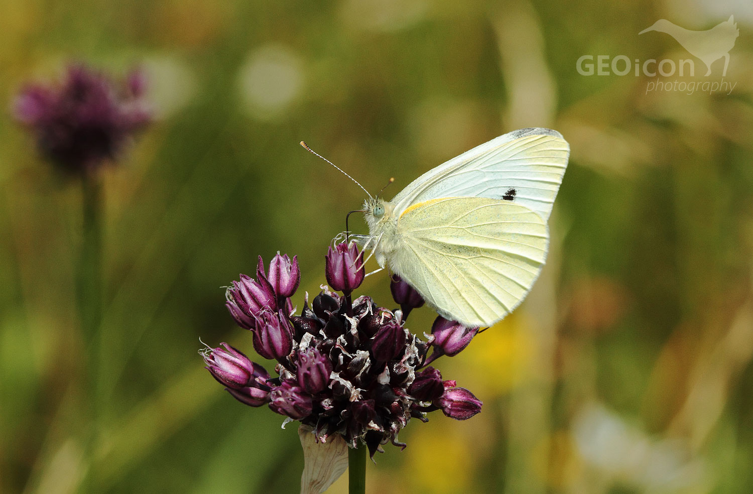 Small white / bělásek řepový (Pieris rapae)