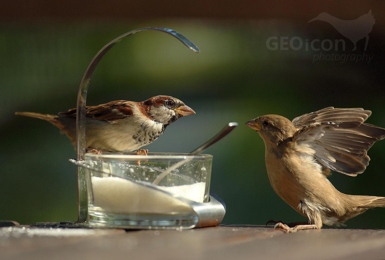 House sparrow / vrabec domácí (Passer domesticus)