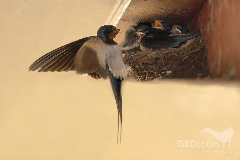 Barn swallow /vlaštovka obecná (Hirundo rustica)