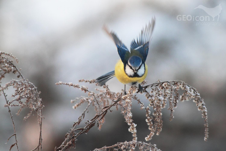 Blue tit / sýkora modřinka (Parus caeruleus)