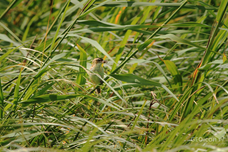 Sedge warbler / rákosník proužkovaný (Acrocephalus schoenobaenus)