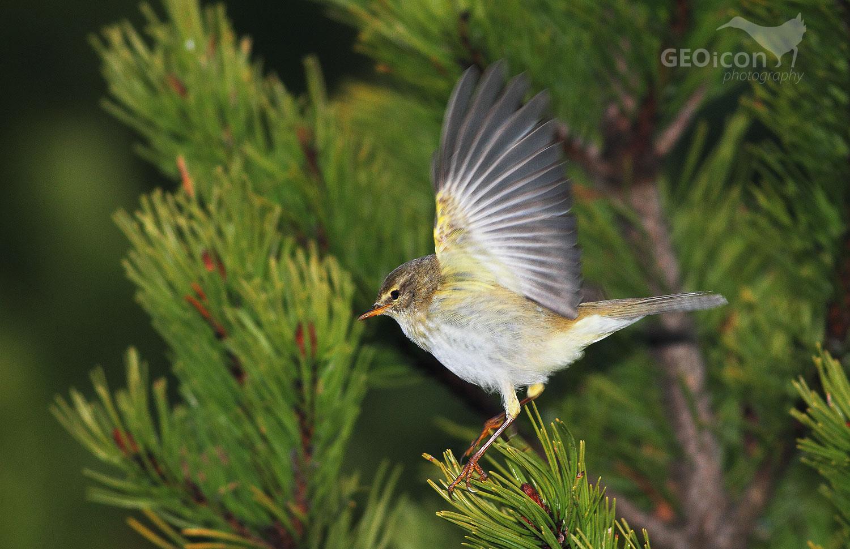 Willow warbler / budníček větší (Phalloscopus trochilus)