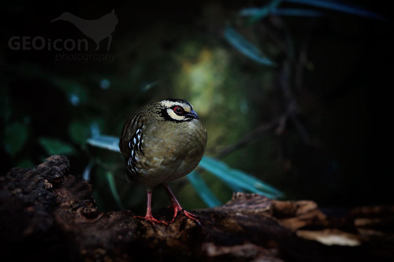 Bar-backed partridge / koroptev hnědoprsá (Arborophila brunneopectus)